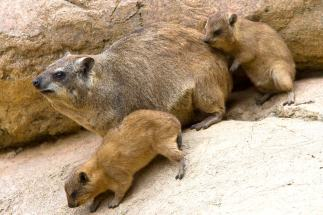 rock_hyrax_cubs_sandiegozoo